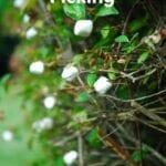 Marshmallow Picking